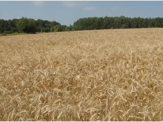 Важная информация от лаборатории озимой пшеницы.