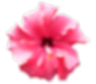 hibiscus-318982_960_720.png