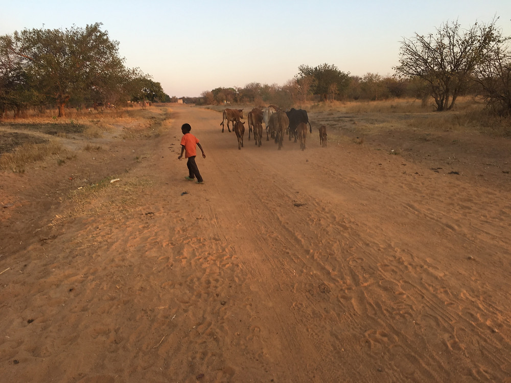 dirt road with dry brush around and a small boy herding a group of cattle