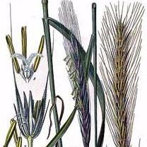 Illustration botanique du seigle, Atelier Eclats de paille