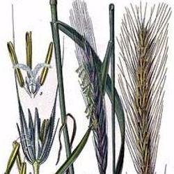 Planche botanique du seigle, atelier Eclats de paille