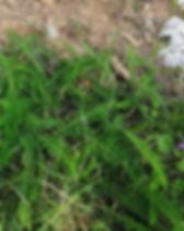 Yarrow leaves n flwrs_edited.jpg
