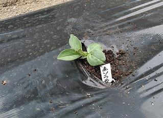そら豆を植えました