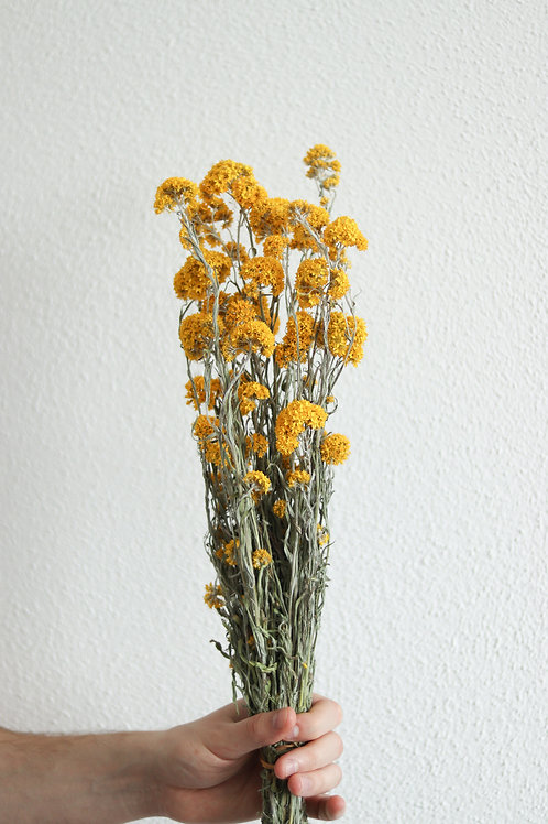Sanfordii Trockenblume gelb