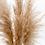 "Thumbnail: Pampasgras ""fluffig"" 1 Wedel"