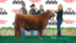 Red Angus, Sired by Bieber Rollin Deep