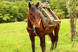 Ecuador - Horse