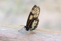 Ecuador - Butterfly