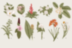 Botanic Illustrator