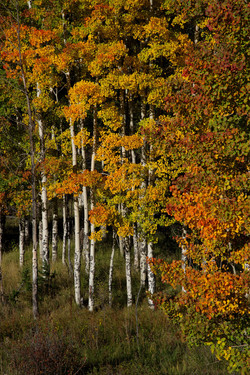 Aspens On Bobcat Pass