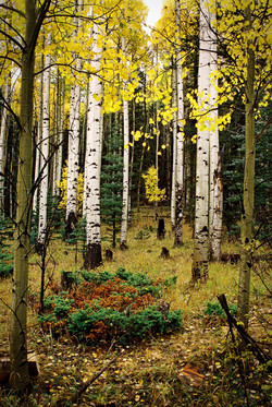 Aspens In Upper Red River Valley