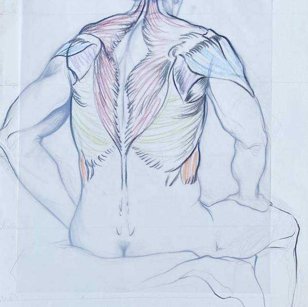 Back of Torso Muscle