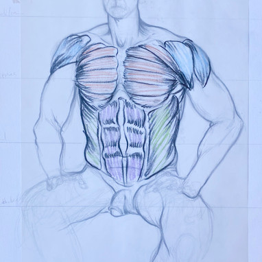 Front of Torso Muscle