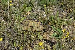 helle Iberische Landschildkröte