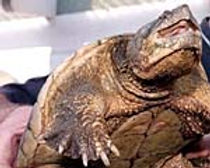 alligator_schnap.JPG