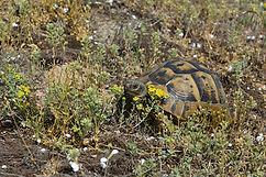 Iberische Landschildkröte