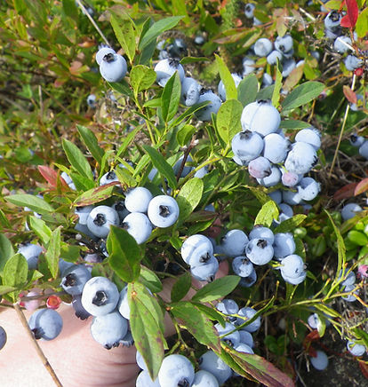 Blue berries contact us