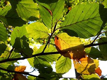 Beech leaves close.jpg