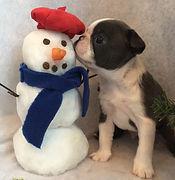 Alaska's Boston Terrier's