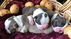 Boston Terrier puppies brindle & black