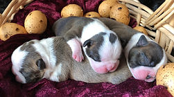 Boston Terrier puppies brindle & black