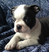 Blue Boston Terrier puppies for sale