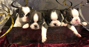 Alaska Boston Terrier Puppies for sale in Alaska