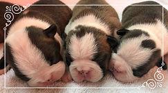 Alaska Boston Terriers