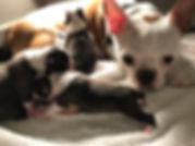 Alaska Boston Terrier breeder