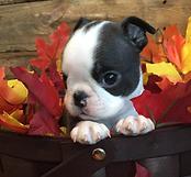 boston terrier puppy in alaska