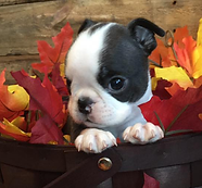 boston terrier puppy in alaska