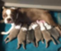 Boston Terrier litter of champagne & blues
