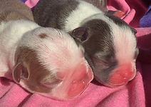 Boston Terrier puppies blue & champagne
