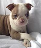 Champagne Boston Terrier puppy for sale in Alaska