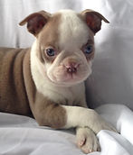 Champagne Boston Terrier puppy for sale in Alaska