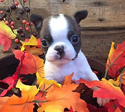 Alaska's Boston Terrier's