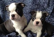 Blue Boston Terrier puppies for sale in Alaska