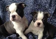 Blue Boston Terrier puppies for sale in Alaska