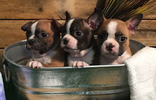 Ak boston terrier puppies
