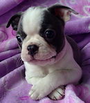 blue Boston Terrier puppy for sale in Alaska