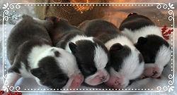 Alaska's Boston Terrier Puppie