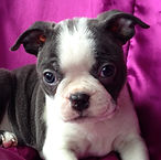 Blue Boston Terrier puppy