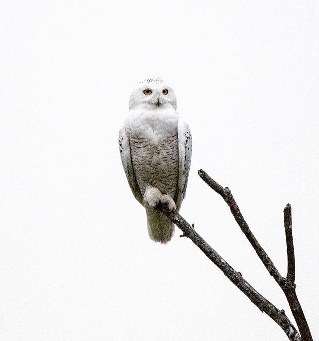 Snowy Owl | Richmond, Maine