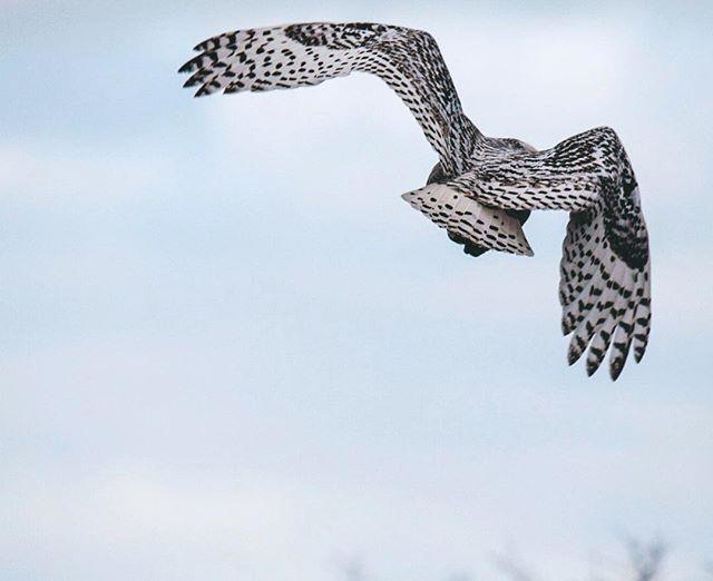 Snowy Owl | Biddeford, Maine