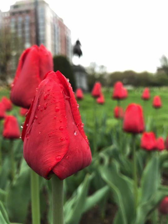 Rainy Tulips | Boston, Ma