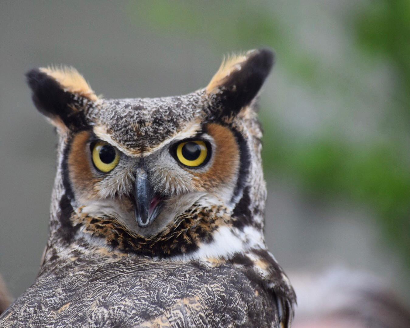 Great Horned Owl | Freeport, Maine