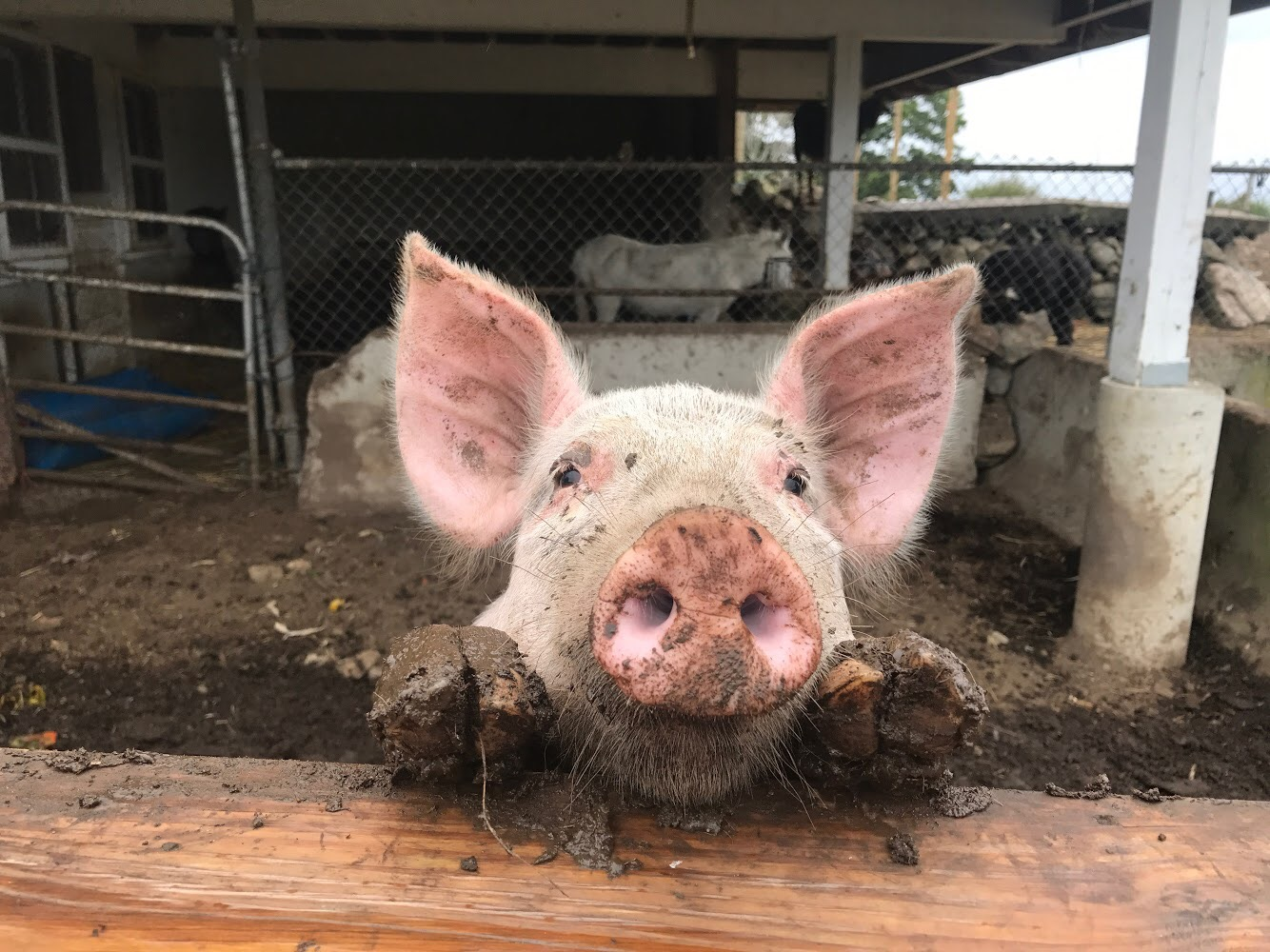 Pig | Brooksby Farm | Peabody, MA