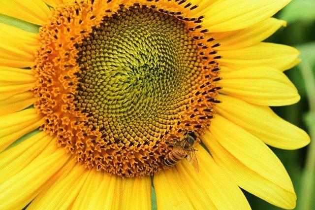 Sunflower | Newbury, Massachusetts