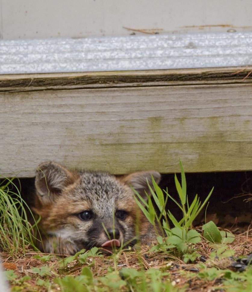 Baby Fox | Maine