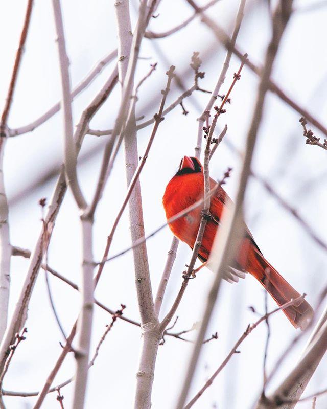 Cardinal | Maine